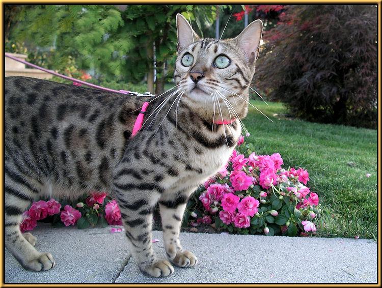 Double Impatiens in Garden with Bengal Cat