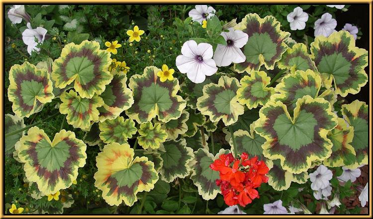 Tri Color Geraniums