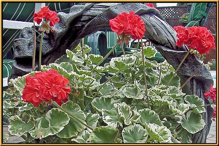 Geraniums & Pelargoniums Trailing Geraniums Cascading Geraniums ...