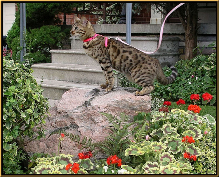 Bengal Cat with Tri Colored Geraniums and Variegated Geraniums