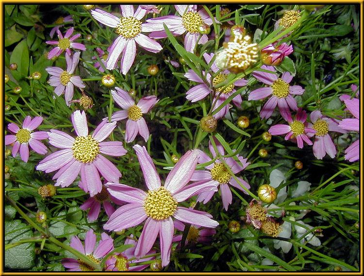 Anemone Windflower