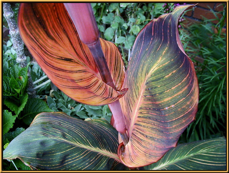 Canna Colored Leaves