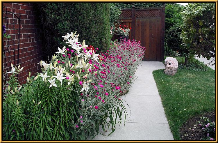 Lilies, Rose Campions Lychnis coronario