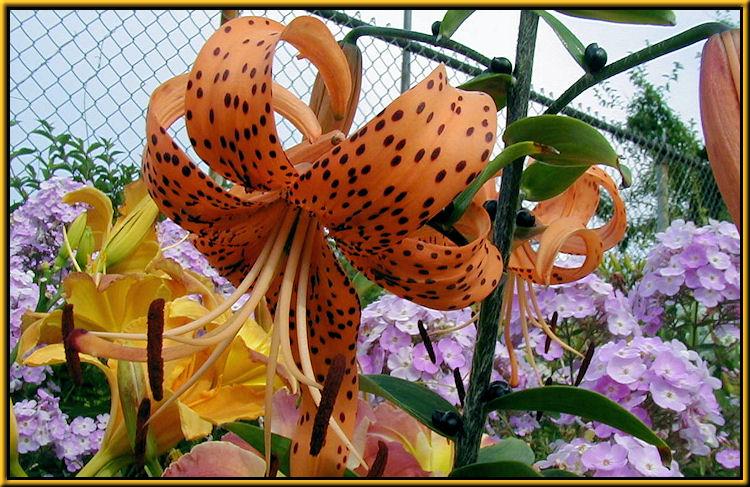 Tiger Lily L. tigrinum