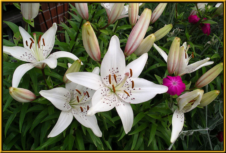 Lilium, Lily, Lilies