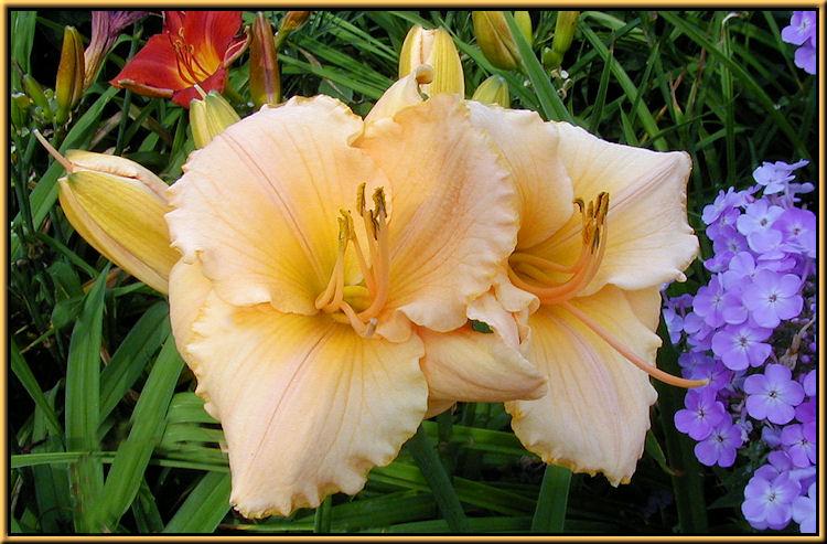 Lilium Lily
