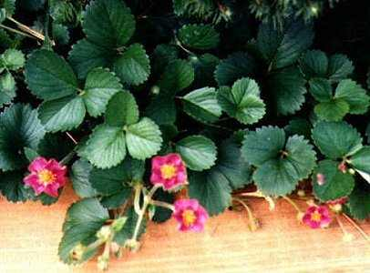 Strawberries with pink flowers images flower decoration ideas perennials pink strawberry mightylinksfo mightylinksfo