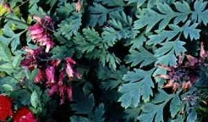 Dicentra formosa 'Luxuriant Bleeding Heart'