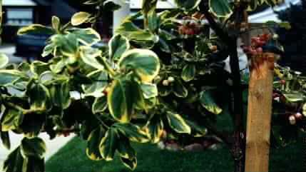 Close up Of Euonymus Canadale Gold