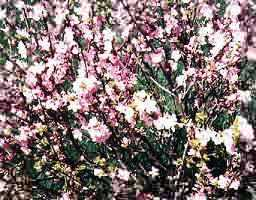 Flowering Almond Bush