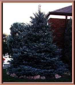 Dwarf Colorado  Intense Blue Spruce