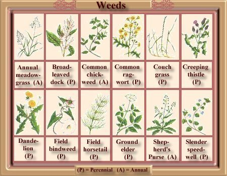Annual and Perennial Weeds