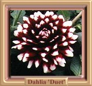 Decorative Dahlia 'Duet'