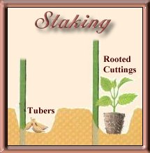 Staking and Planting Dahlias