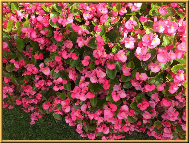 Waxed Begonias in Garden