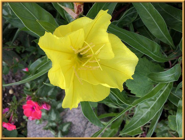 Evening Primula in Rockery Garden