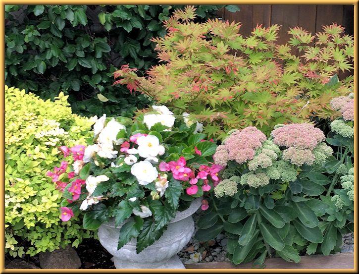 Sedum Autumn Joy in Back Garden