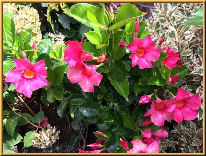 Dipladenia Tropical Plant in Side Garden