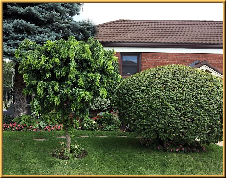 Robinia Twisted Sister Miniature Side Garden