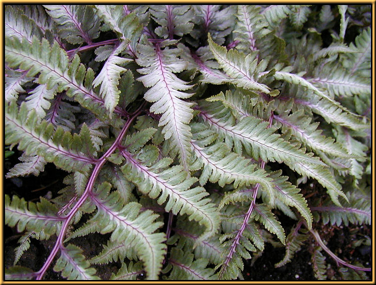 Shade Garden Japanese Painted Fern