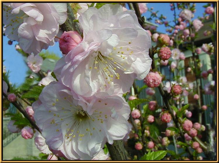 Shrubs double flowering almond flowering shrubs mightylinksfo Images