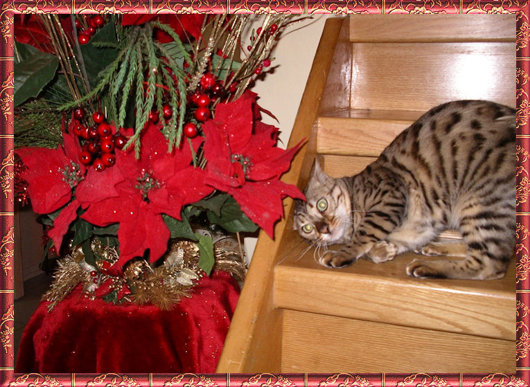 Bengal Cat Behaving While Crouched on Stairs